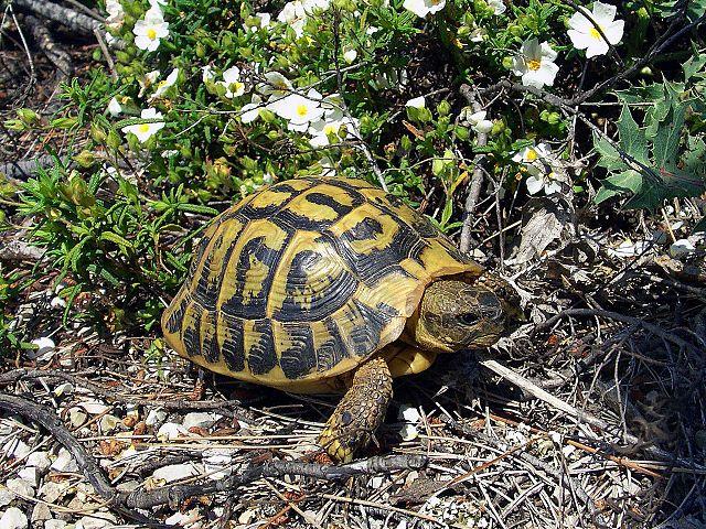 Gresk landskilpadde