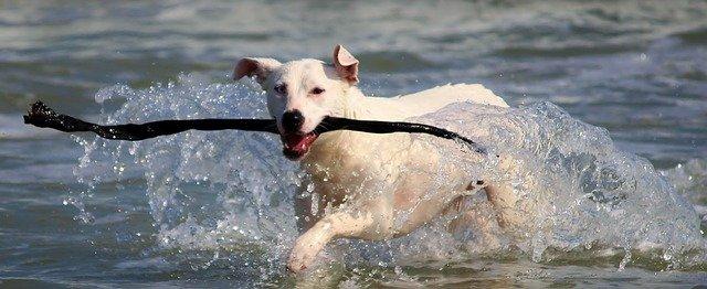 Hund av blandingsrase henter pinne på stranda.