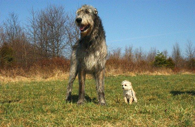 Irsk ulvehund med blandingshund
