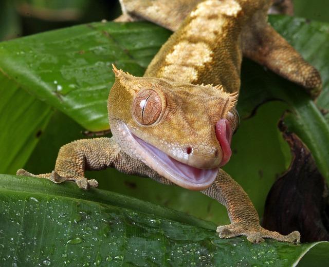 Kranset gekko