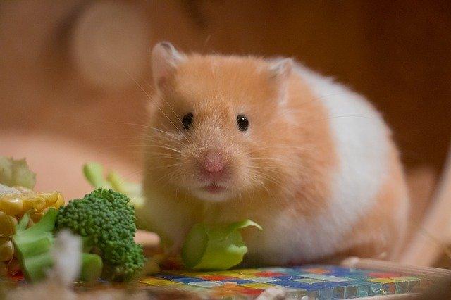 Hamster spiser mat