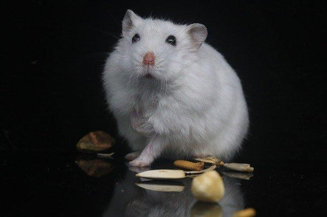Hamster med mat