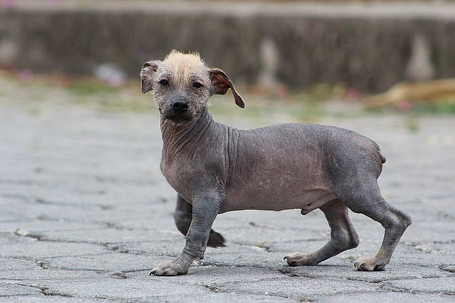 Ecuadoriansk nakenhund