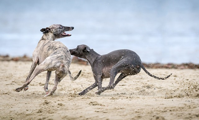 Greyhound på stranda