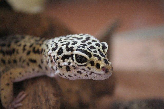 Leopardgekko
