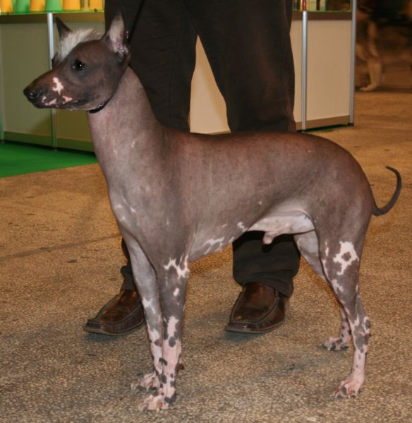 Peruviansk nakenhund