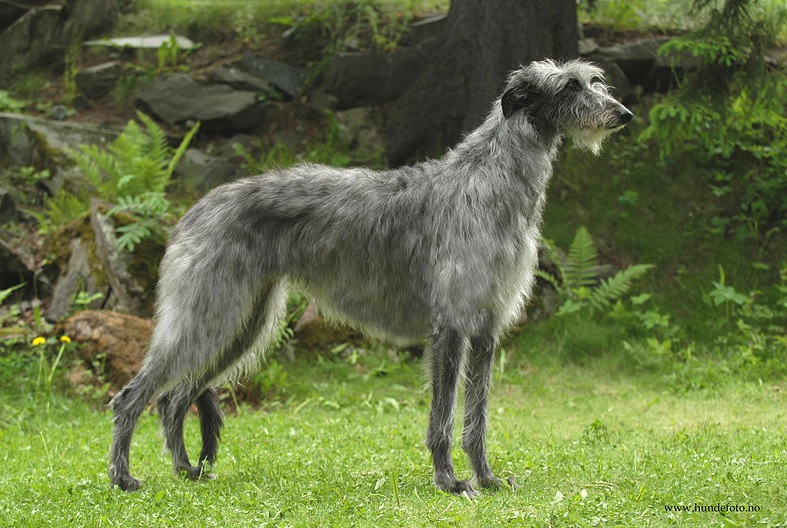 Skotsk hjortehund