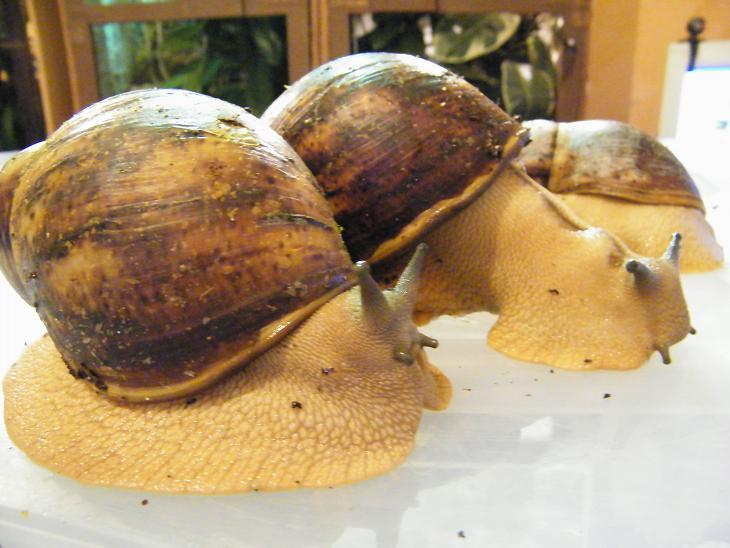 Archachatina marginata var. ovum