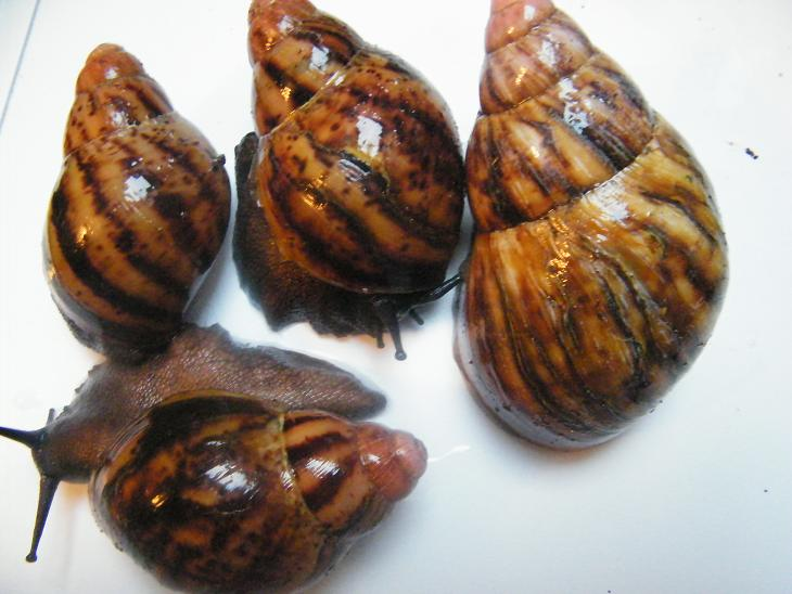 Archachatina marginata var. suturalis