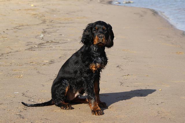 Gordon setter på stranda