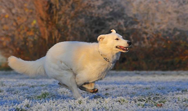 Hvit gjeterhund som løper
