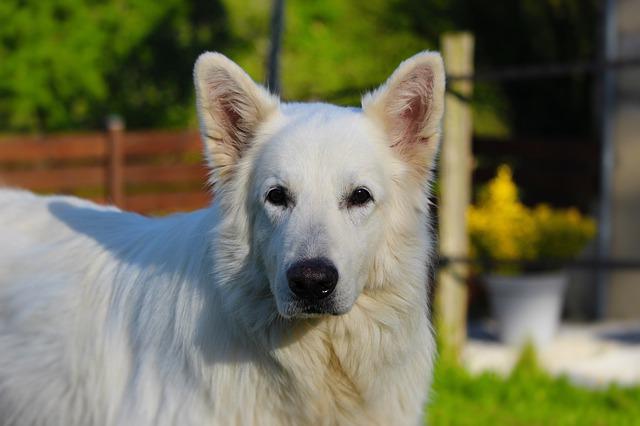 Hvit gjeterhund