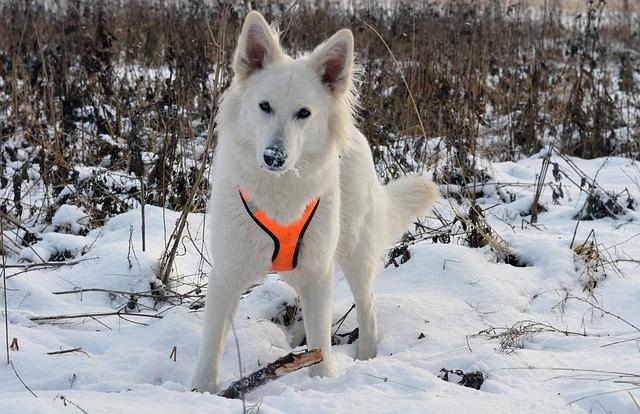 Hvit gjeterhund i snøen