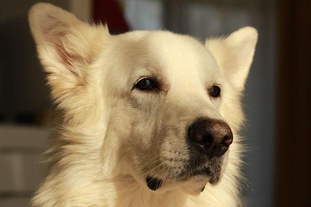 Portrett av hvit gjeterhund.