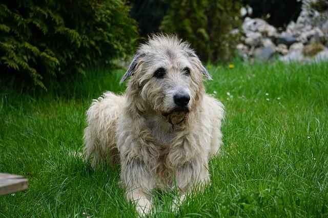 Irsk ulvehund på gress