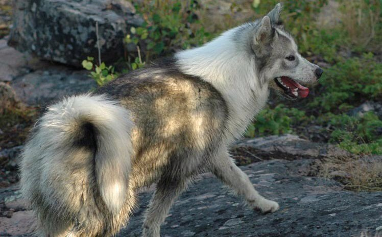 Kanadisk eskimohund