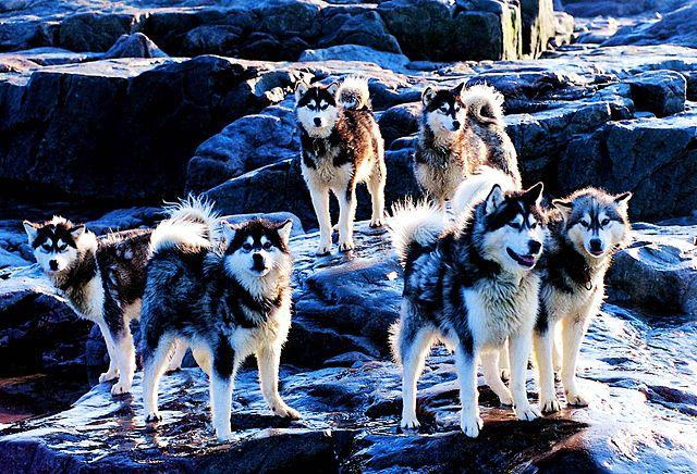 Kanadiske eskimohunder