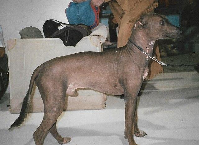 Meksikansk nakenhund - stor variant.