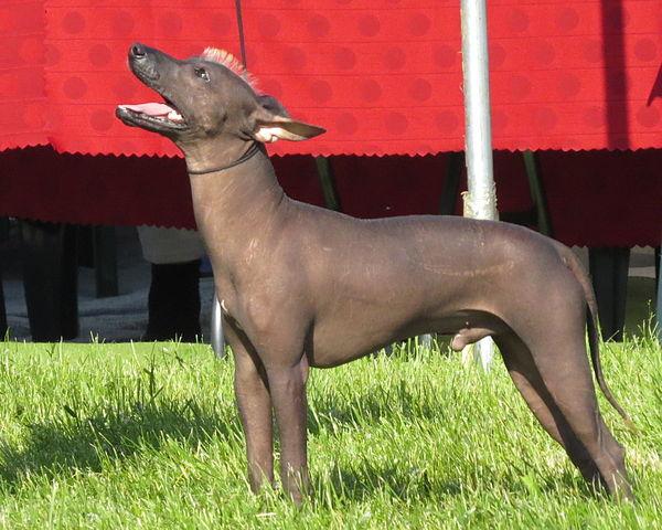 Meksikansk nakenhund