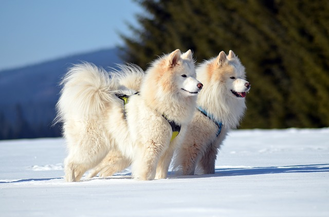 To samojedhunder i snøen