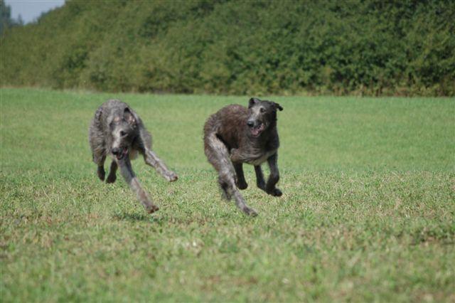 Skotske hjortehunder som løper