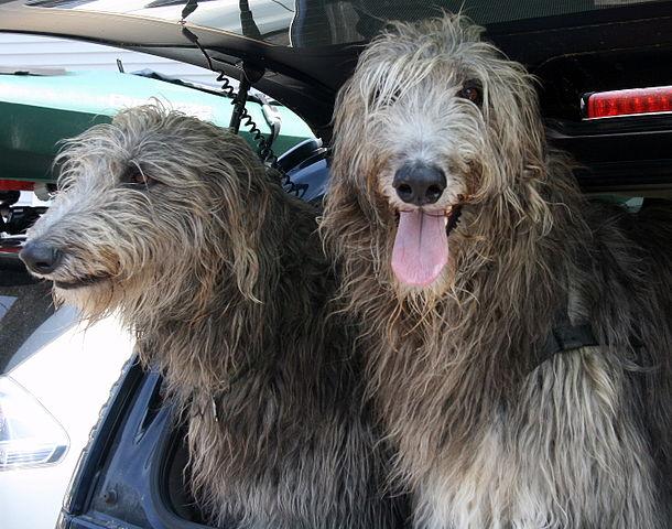 Skotske hjortehunder i bil
