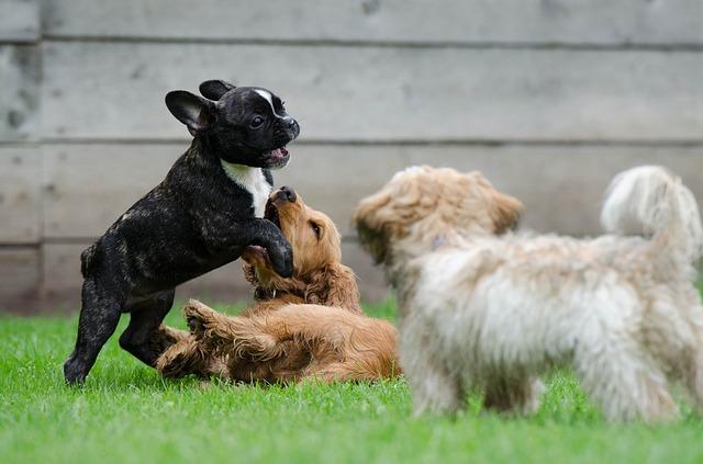 Fransk bulldog og cocker spanielvalper som leker