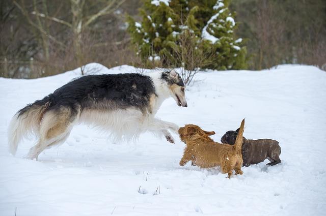 Borzoi som leker andre små hunder