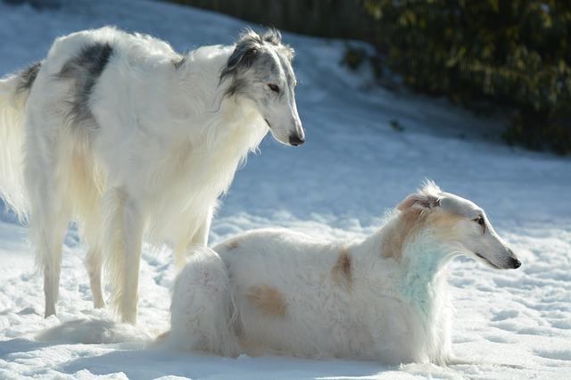 To borzoier i snøen