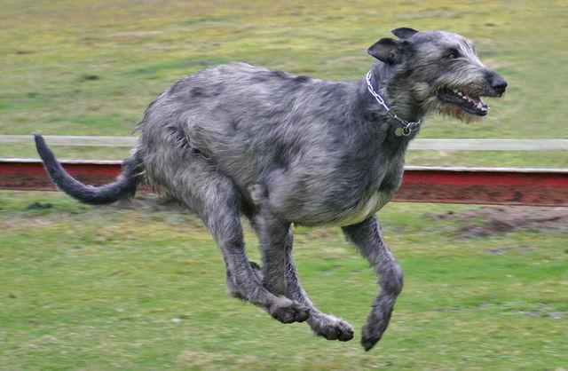 Irsk ulvehund som løper