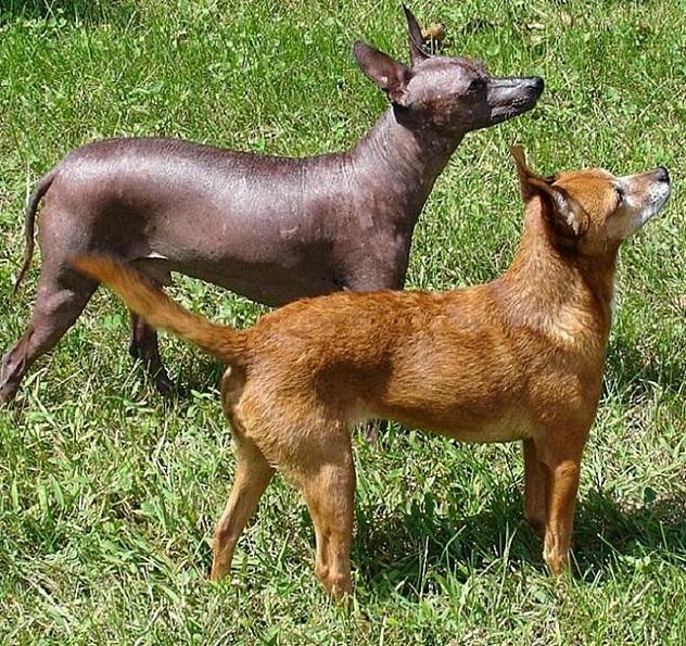 Meksikansk nakenhund i både hårløs og pelskledd variant
