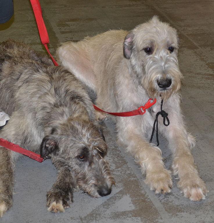 To skotske hjortehunder med hvit og grå pels