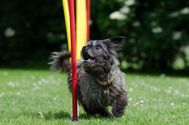 Hund som løper slalåm