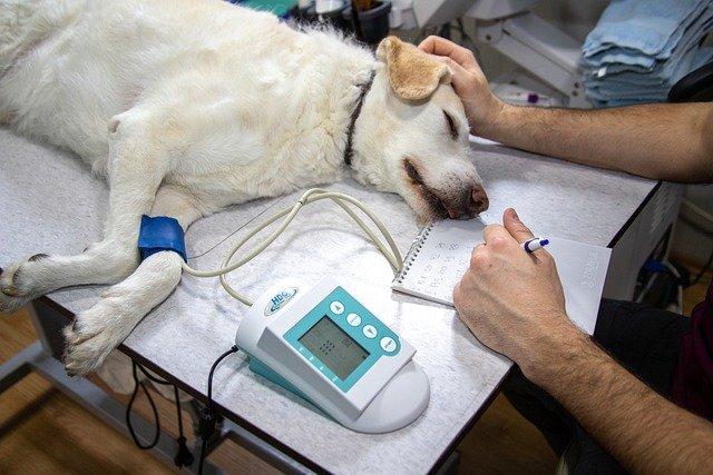 Golden retriever hos veterinær