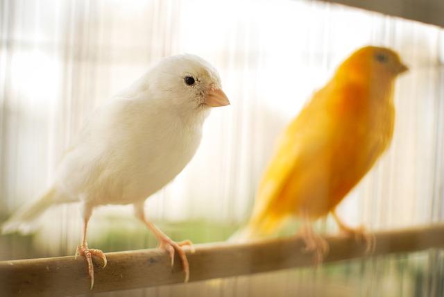 Kanarifugler