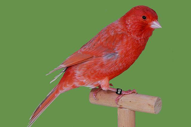 En rød kanarifugl