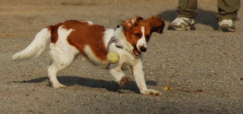 Kooikerhundvalp som leker