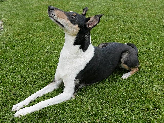 Korthåret collie
