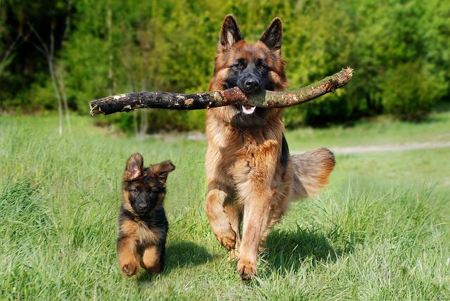 Schæferhund med valp