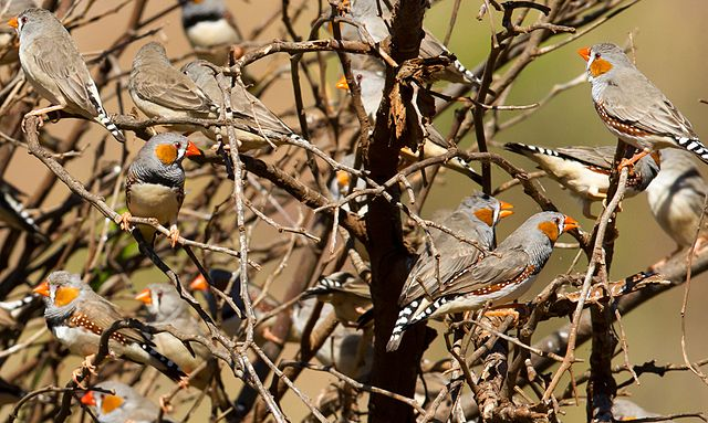Sebrafinker i naturen