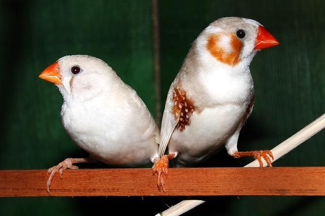 Sebrafinker