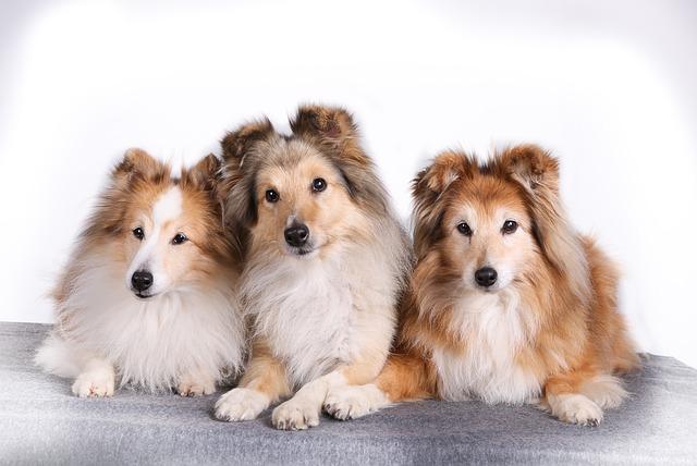 Tre Shetland sheepdog