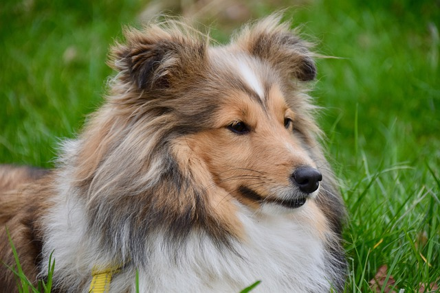 Shetland sheepdog portrertt