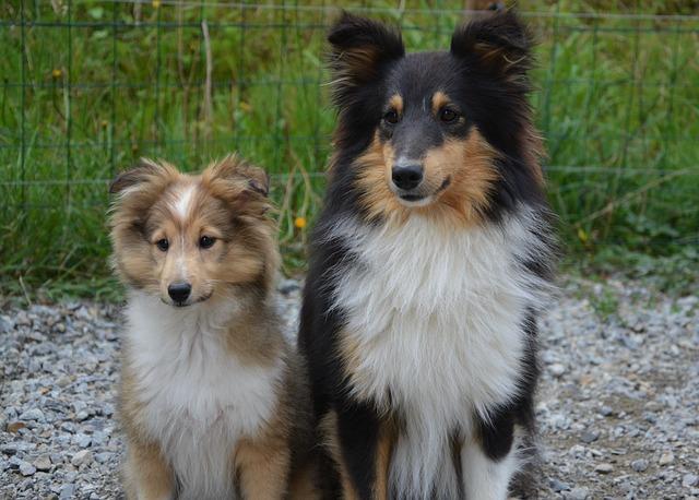 Shetland sheepdog voksen og valp sammen