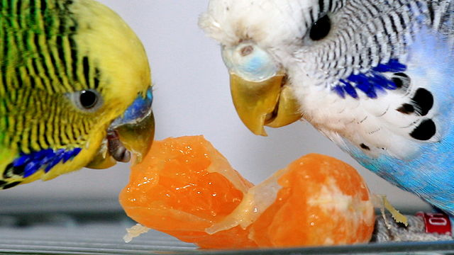 Undulater som spiser appelsin