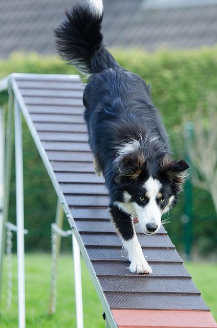 Border collie driver med balansetrening