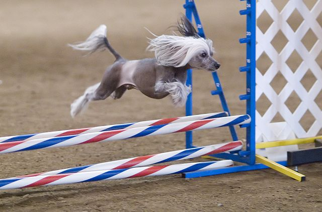 Chinese crested på agility