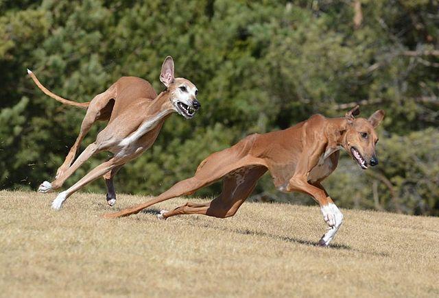 Azawakh er som løper