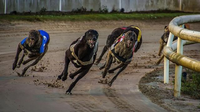 Greyhounder på løpebane