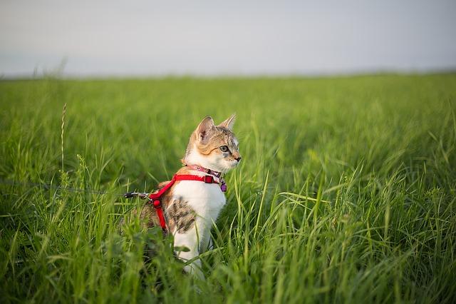En katt med sele